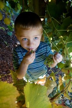 Helping pick grapes.