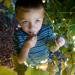 Helping pick grapes.