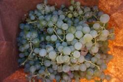 About seven pounds of grapes.