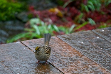 Golden-Crowned Sparrow with cold toes