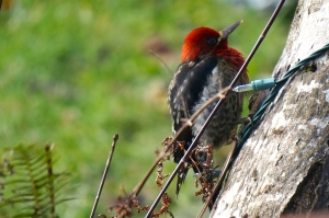 Red-breasted sapsucker... probably