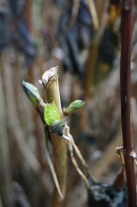 Leaf buds on a hydrangea... in December!