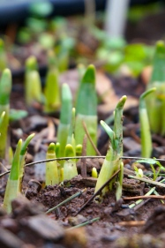 Tulips pushing up