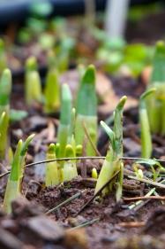 Tulips pushing up