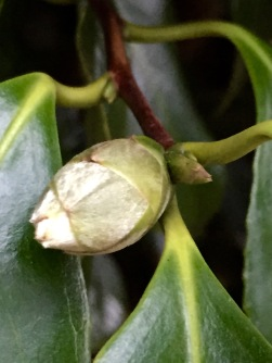 Camellia buds in December
