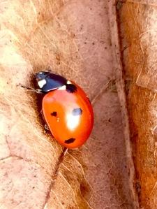 Cold ladybug