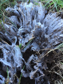 Crystallofolia, or frost flower.