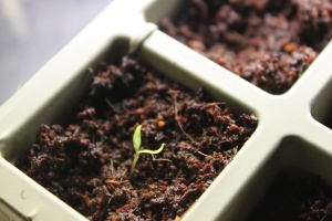 There is nothing more promising for spring than to see the first sprout of a seedling!