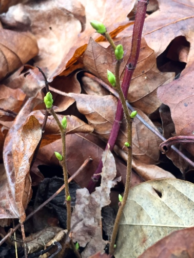 Young mint shoots