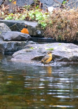 Female varied thrush taking a bath, with a robin perched in the background.