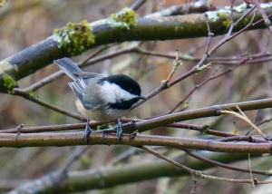 I love this cheerful little black-capped chickadee.