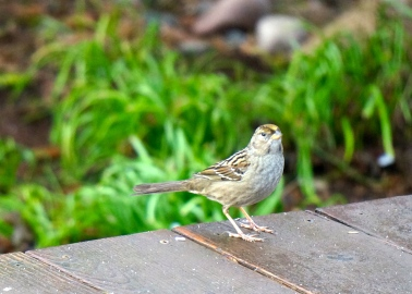 Golden-crowned sparrow.