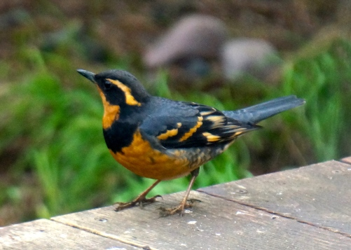 A more showy male varied thrush.