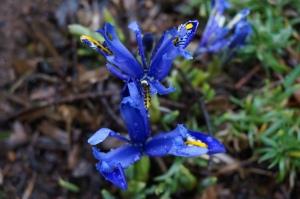 Slug-eaten iris. Last straw!