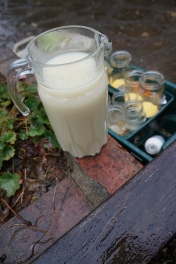 Slug trap bait: honey and yeast in the pitcher, with cornmeal jars in the background.