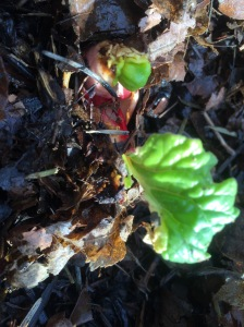 Baby rhubarb in January, thriving under leaf mulch and burlap.