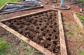 Perfect holes, half-full of compost and ready for strawberry babies.