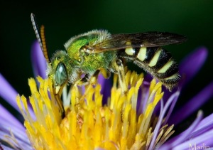 Halictid Bee - Agapostemon splendens, from CirrusImage.com