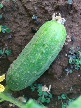 Pickling cucumber, just the right size.