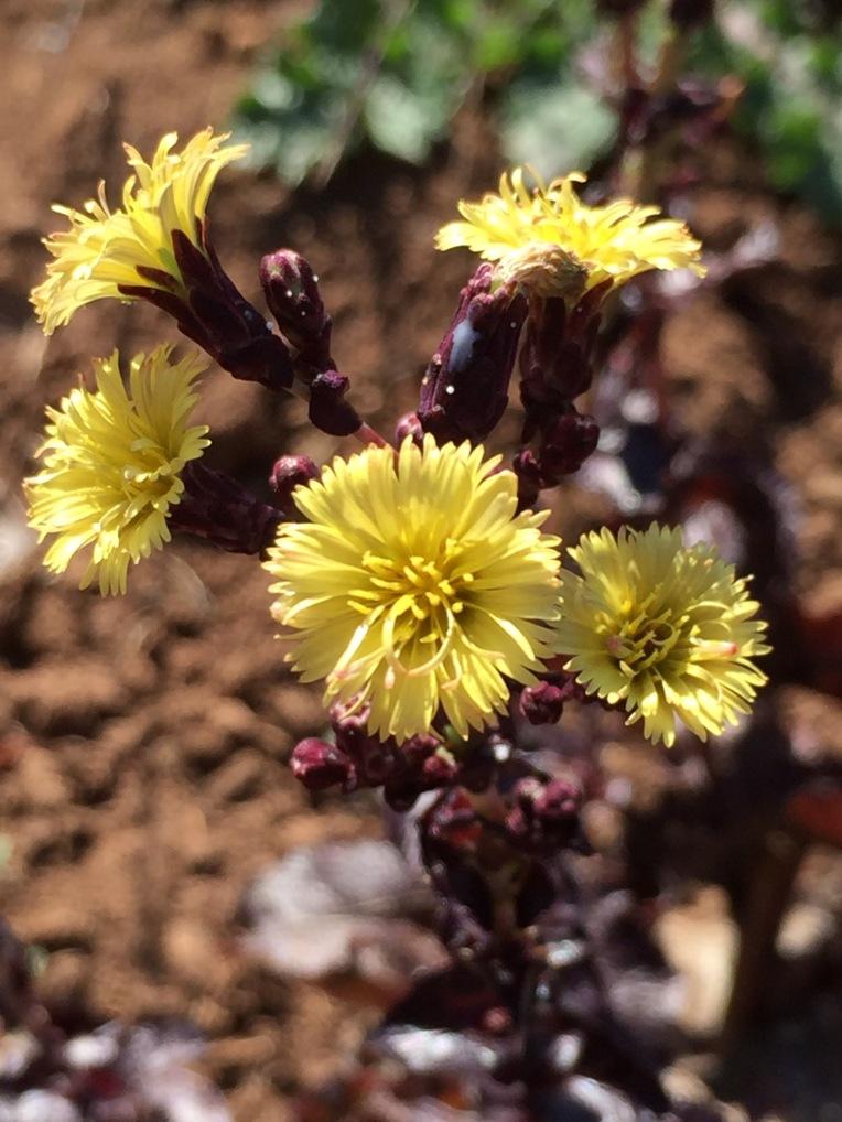 Lollo Rosso lettuce flower