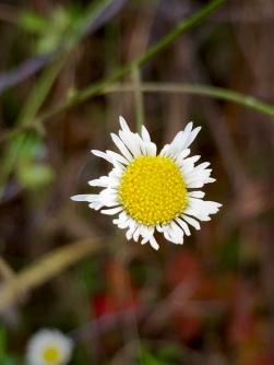 Quite possibly Lesser Daisy Fleabane (Erigeron strigosus)