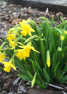 Early dwarf daffodils