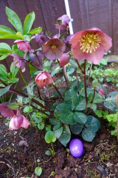 The hellebore at Easter...