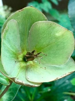 The hellebore at the end of August!